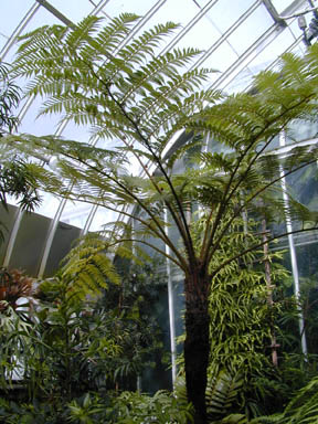 A tree fern in the greenhouse