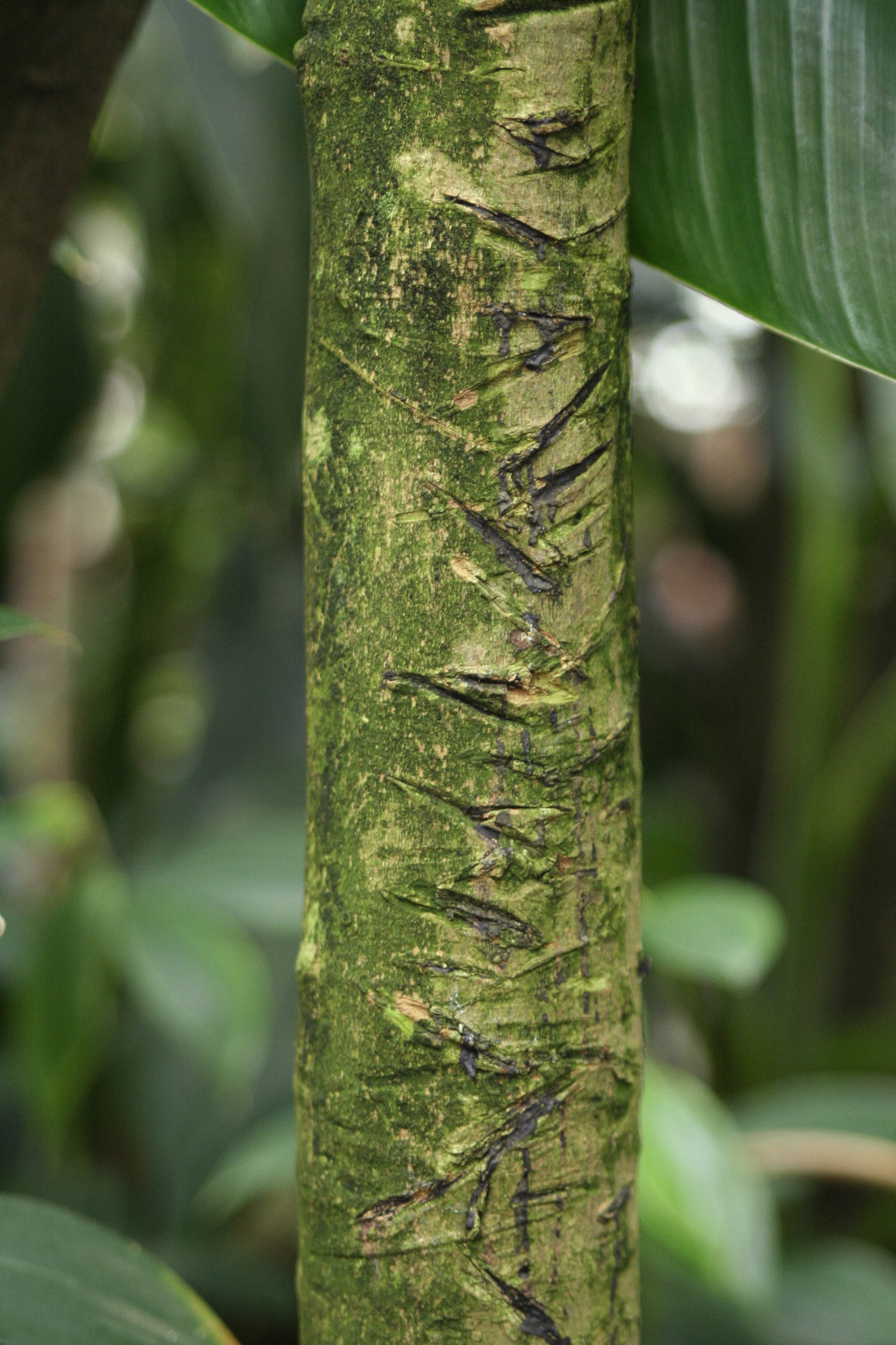 Bark of a Para Rubber tree