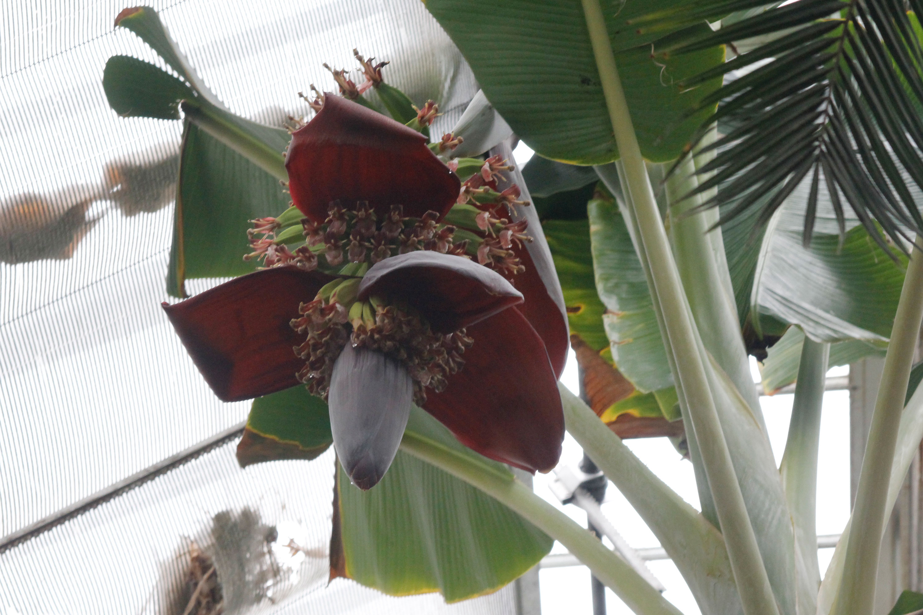 flowering banana stalk