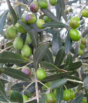 Olive tree in the greenhouse