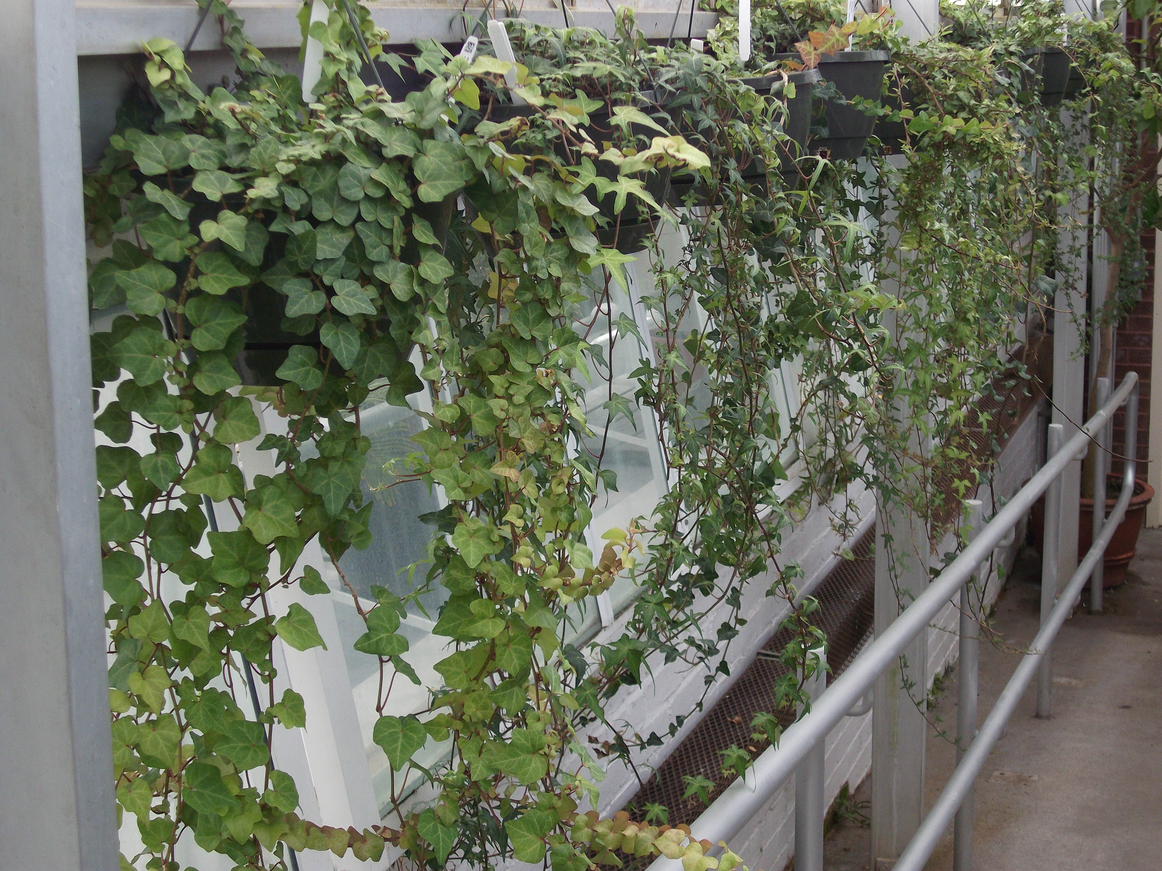 Hanging ivy plants in the greenhouse