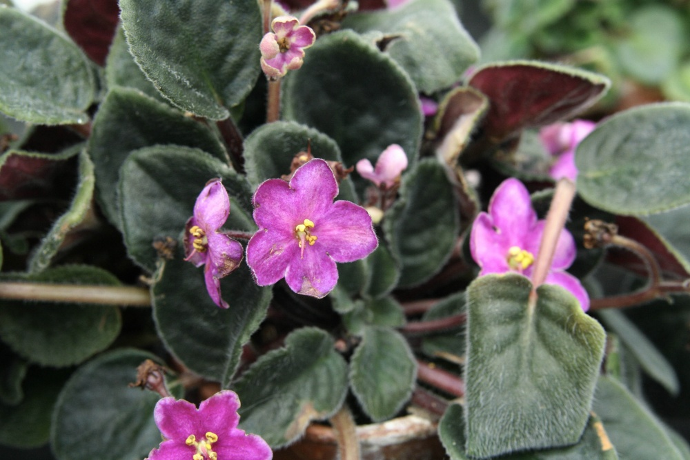 African violets in the greenhouse