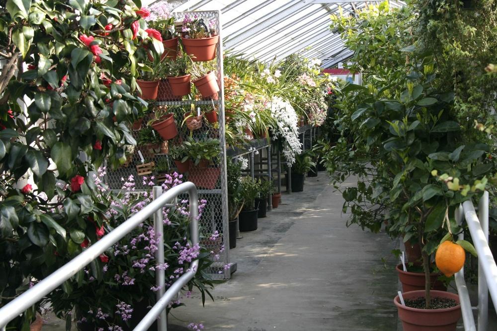 Camellia Corridor in the greenhouse