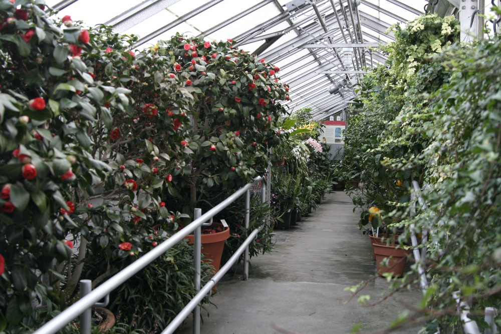 Camellia Corridor in the greenhouse