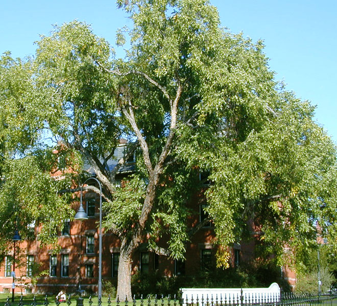 Large black birch