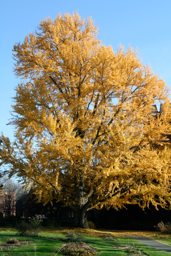 yellow fall color of ginkgo tree