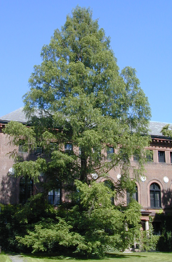 large dawn redwood behind Neilson Library