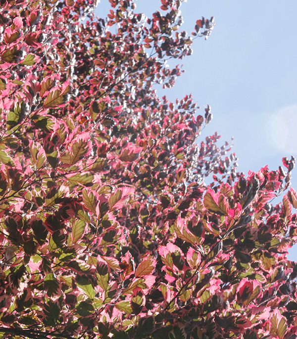 pink, green and white leaves against a blue sky