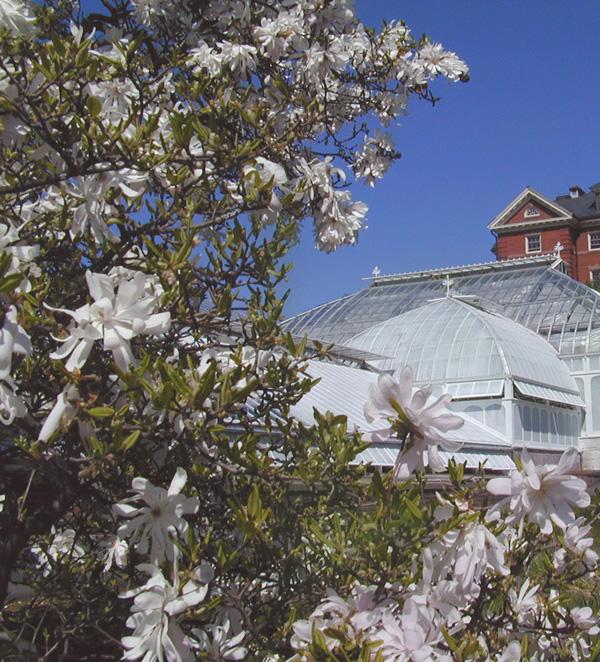 pink tinged star magnolia flowers