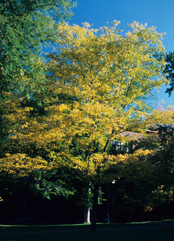 honey locust showing its fall color