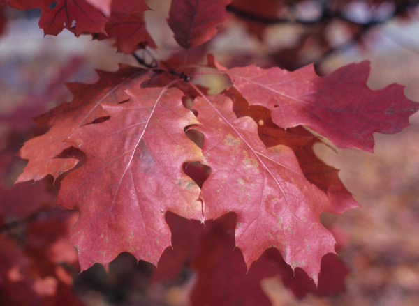 red oak leaves in full fall color