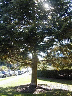 sakhalin fir tree