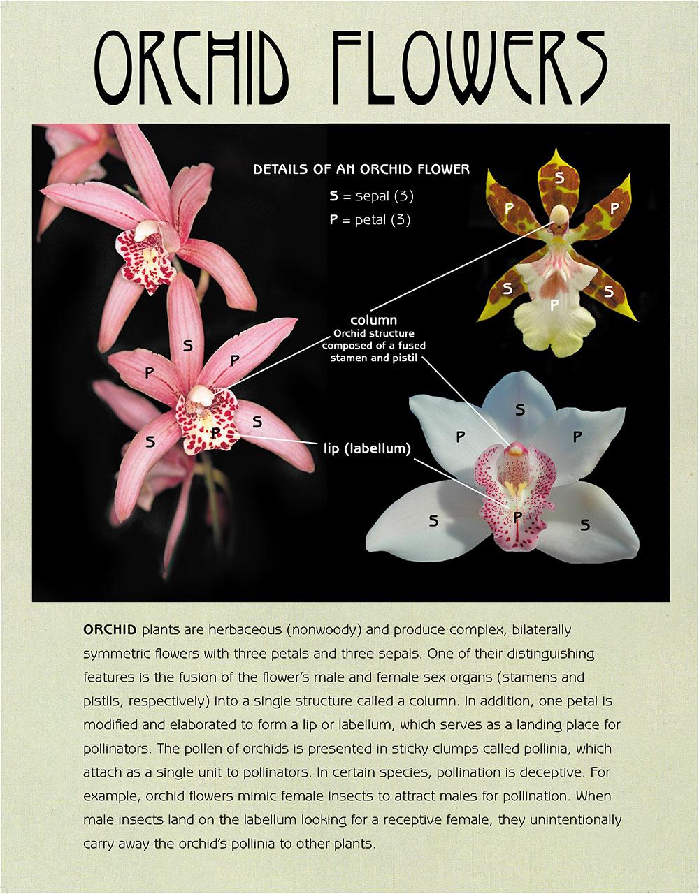Thesaurus Woolwardiae Orchid Flowers Panel | The Botanic Garden of ...