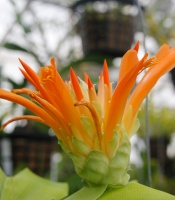 orange and yellow bromeliad flower