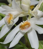 blooming orchid flower