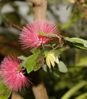 Calliandra emarginata, Powder Puff Tree with pink spikey flowers