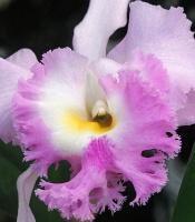 Hybrid Cattleya orchid