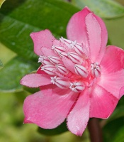 fragrant and beautiful flower of the <em>Cavendishia adenophora</em> plant.