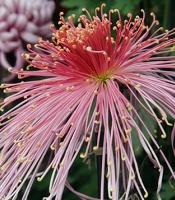 pink spider mum