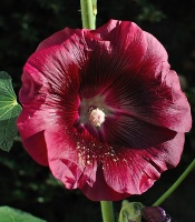 Common hollyhock
