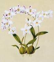 Odontoglossum nobile orchid