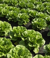 lettuce growing in rows in a field