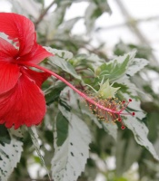 Hibiscus rosa sinensis 'Cooperi'