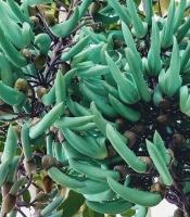 Jade vine flowers