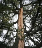 Cedar of Lebanon struck by lightning