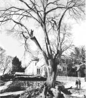 elm tree takedown