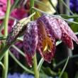 Bulb Show 2001 - Fritillaria meleagris
