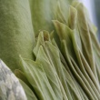 Close-up of the developing spathe and spadix.