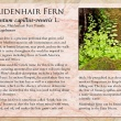 Maidenhair fern image and informational text