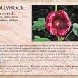 Hollyhock image and informational text