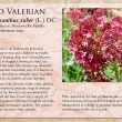 Red Valerian image and informational text