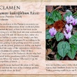 Cyclamen image and informational text