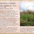 Bermuda Grass image and informational text