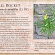 Wall Rocket image and informational text