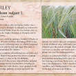 Barley image and informational text