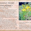 St. John's Wort image and informational text