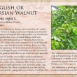 English or Persian Walnut image and informational text