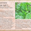 Plantain image and informational text