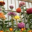 Display of large flowered mums