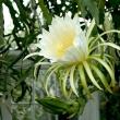 large white cactus flower
