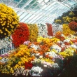 Chrysanthemum Show 1984, with hanging globes of mums