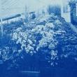 flowers in a greenhouse in 1904 in an old blue cyanotype