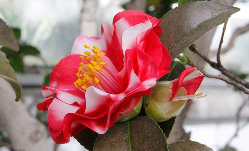 <em>Camellia japonica</em> 'Monjisu' in bloom