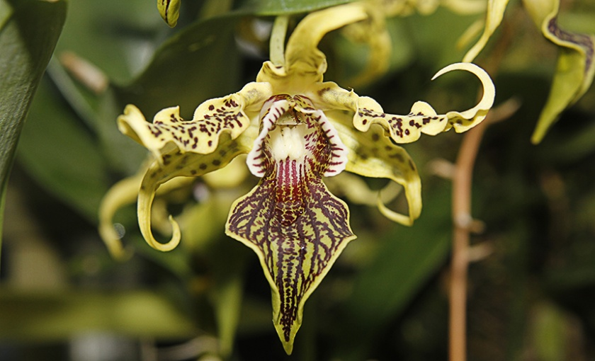 Dendrobium alexandre
