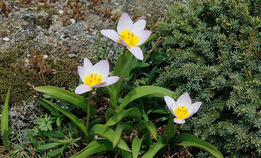 Tuliperifa bakeri 'Lilac Wonder'