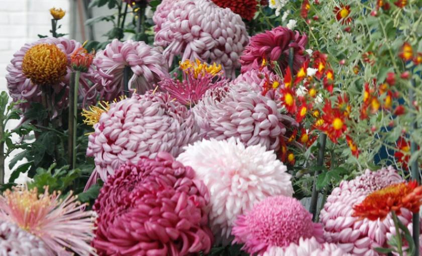 Chrysanthemum standards and cascades.